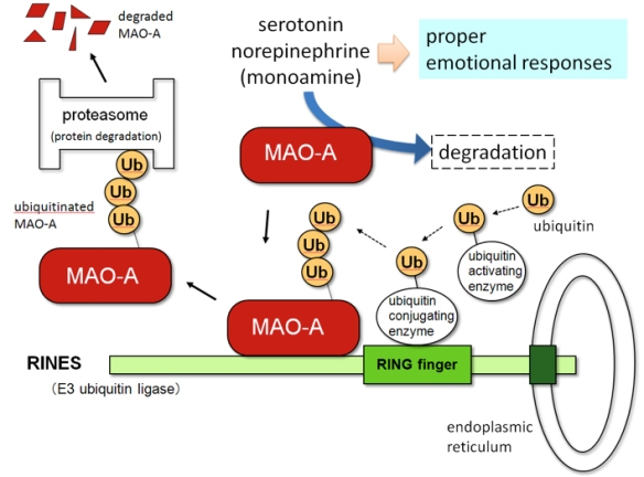 MAOA-ubiquitination