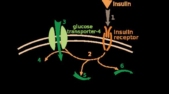 1118px-Insulin_glucose_metabolism_ZP
