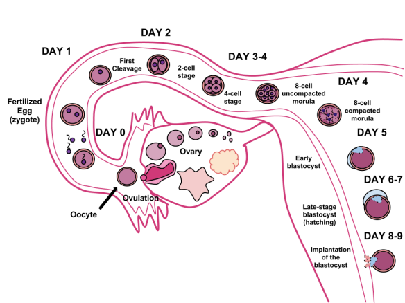 Human_Fertilization