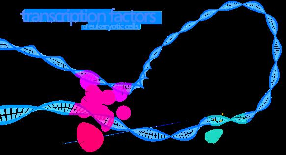 1600px-Transcription_Factors.svg