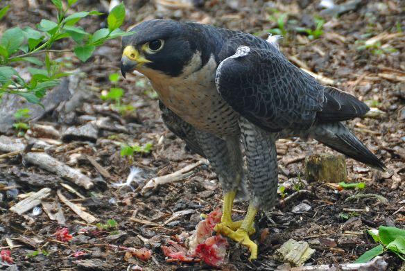 Falco_peregrinus_-Nova_Scotia,_Canada_-eating-8