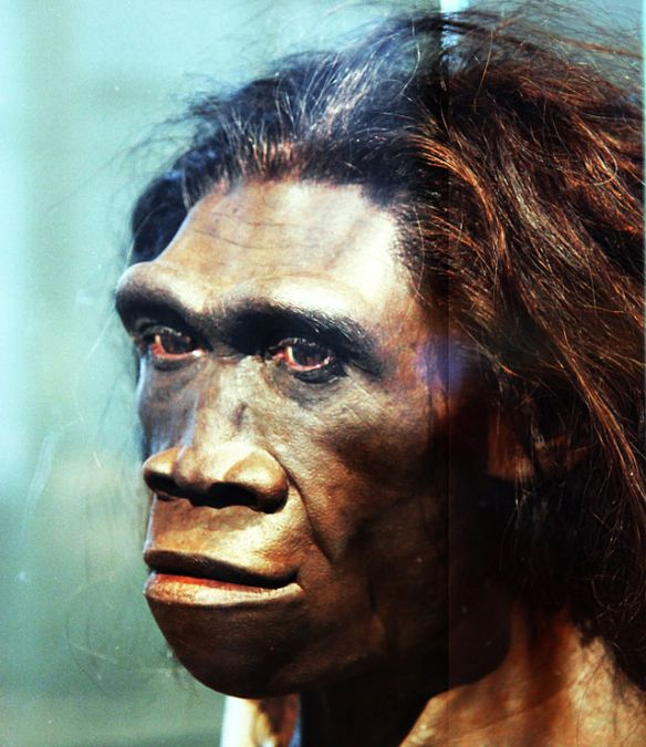 Homo_erectus_adult_female_-_head_model_-_Smithsonian_Museum_of_Natural_History_-_2012-05-17