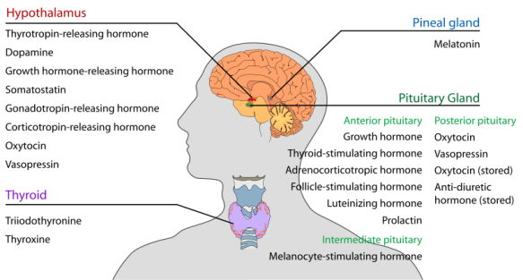 810px-Endocrine_central_nervous_en.svg