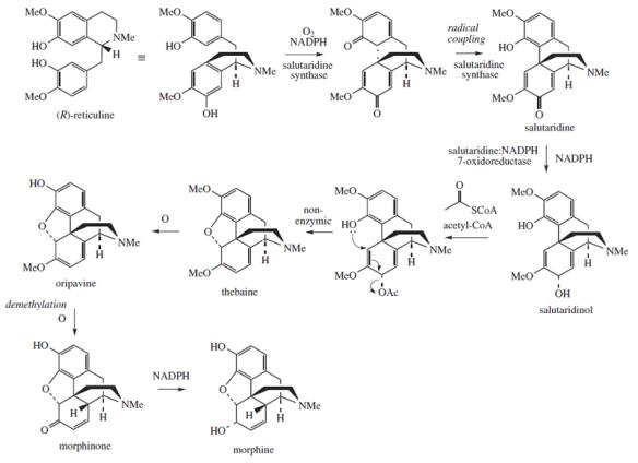 800px-Morphine_biosynthesis