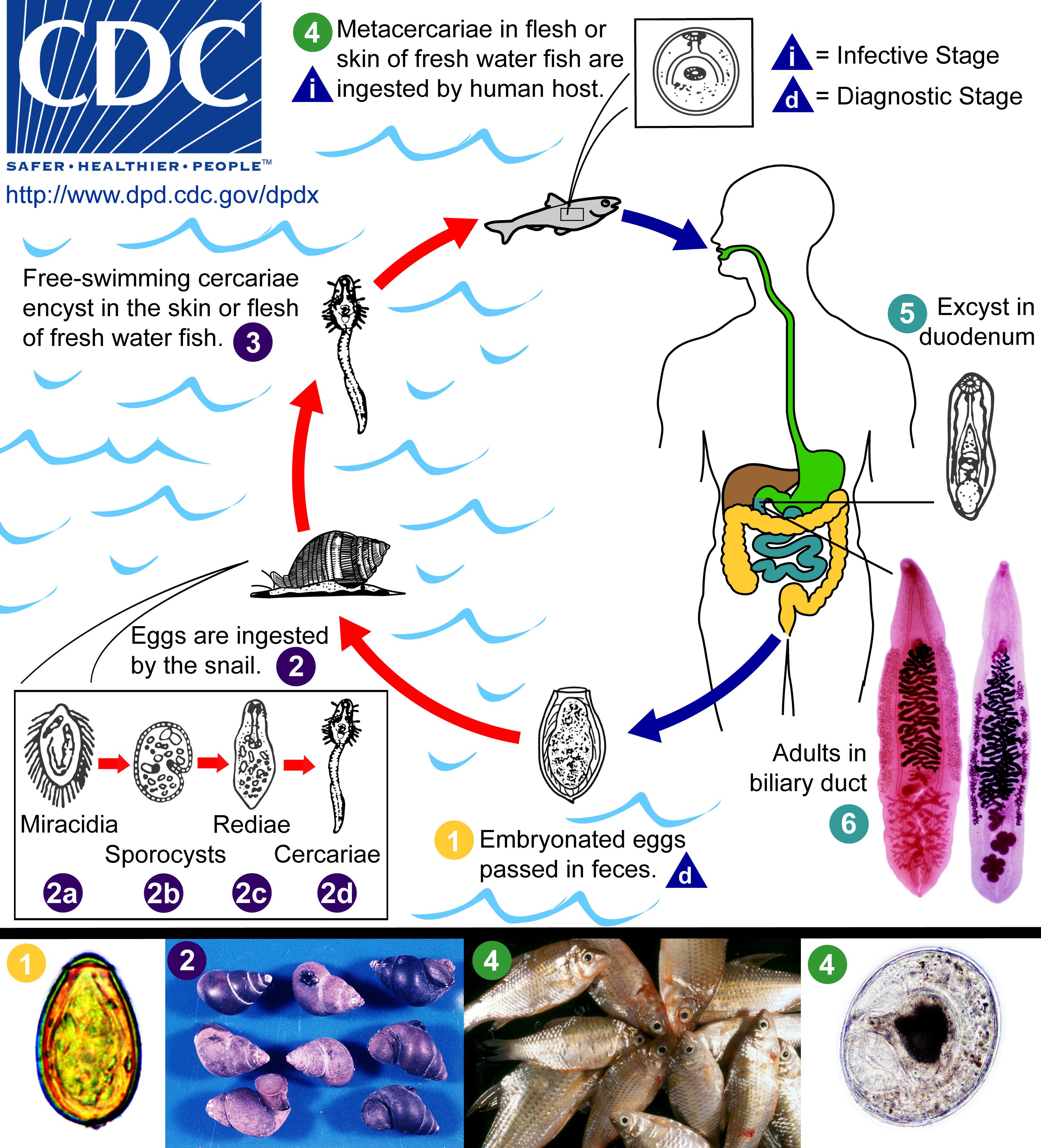La caractéristique des vers ronds des parasites