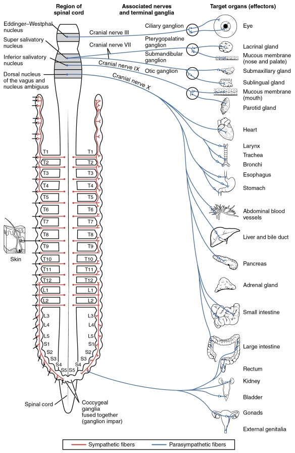 1503_Connections_of_the_Parasympathetic_Nervous_System