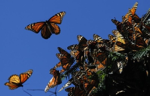 Monarch butterflies fly at the El Rosario butterfly sanctuary in Michoacan