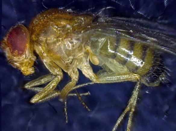 DrosophilaMelanogaster_InstitutZellbiologie (Jacques Henry tous droits réservés)