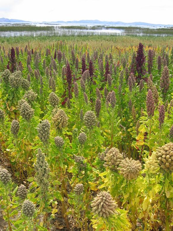 Lanscape_with_Chenopodium_quinoa_Cachilaya_Bolivia_Lake_Titicaca