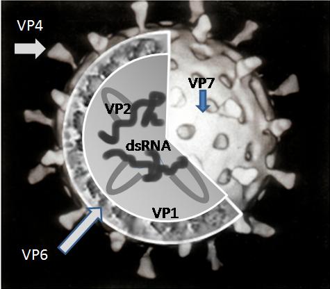 Rotavirus_Structure