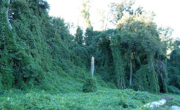 Kudzu_on_trees_in_Atlanta,_Georgia