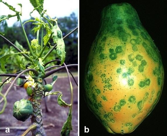 Papaya_Ringspot_Virus_Symptoms