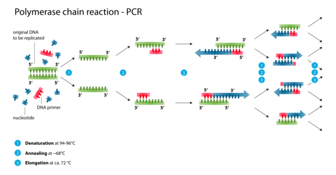 Polymerase_chain_reaction.svg
