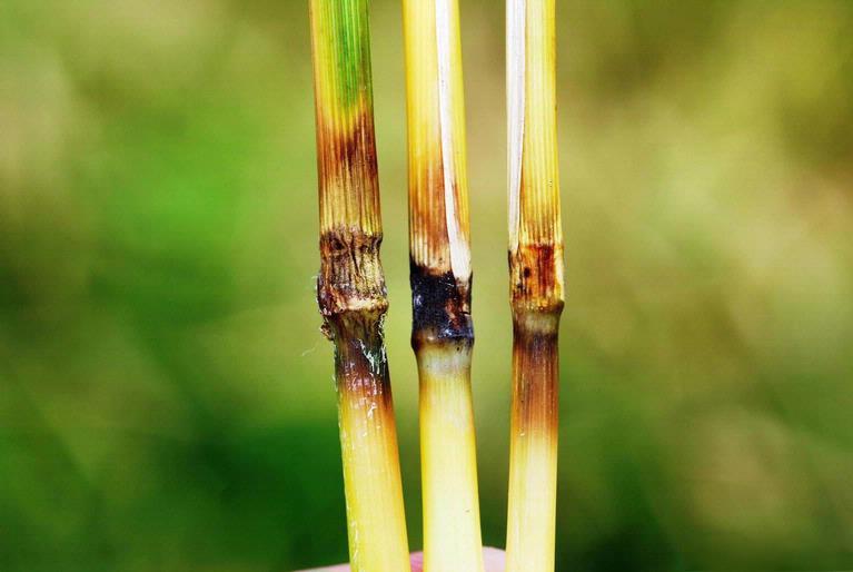 Rice_blast_symptoms.jpg