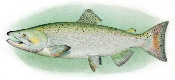 Chinook_Salmon_Adult_Male.jpg