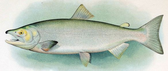 Sockeye_adult_male.jpg
