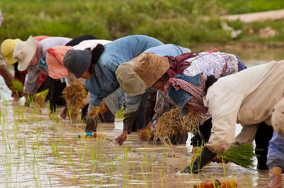 Cambodian_farmers_planting_rice.jpg