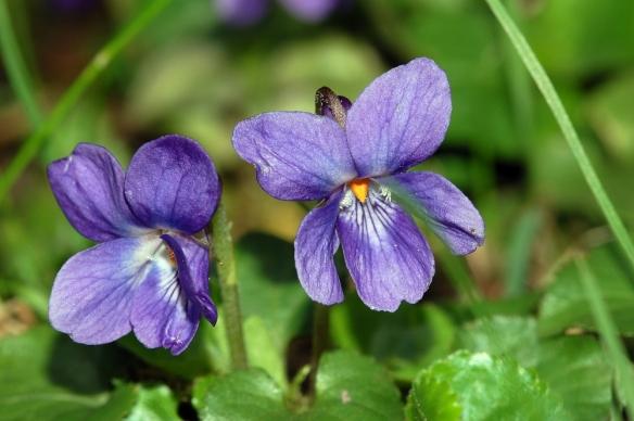 Viola_odorata_fg01.JPG