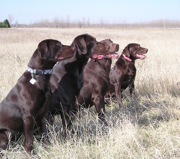 Chocolate_Labrador_Retrievers.jpg