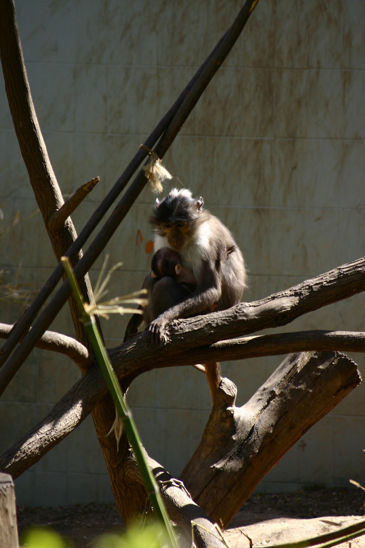 Barcelona.Zoologico.Mangabey.Gris.jpg