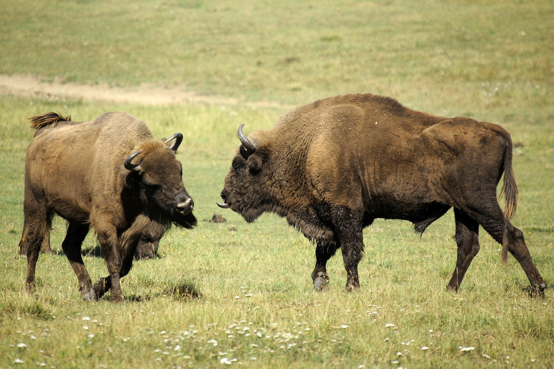 European_bisons.jpg