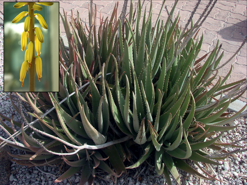 800px-Aloe_vera_flower_inset.png