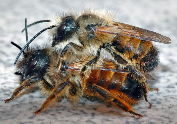 Osmia_rufa_couple_(aka).jpg