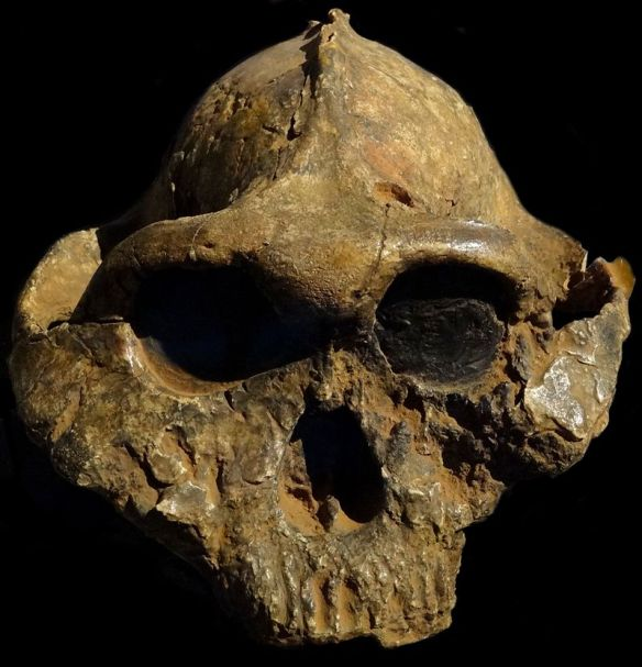 800px-Paranthropus-boisei-Nairobi.JPG
