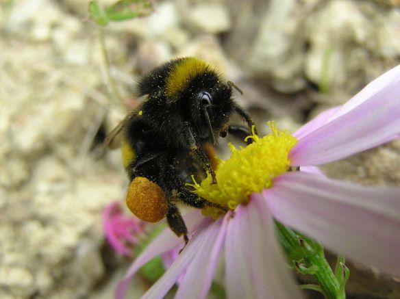 800px-Bumblebee_05.jpg