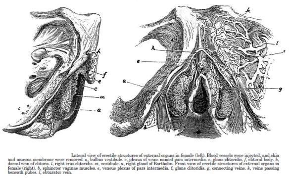 Clitoris_disséqué_par_Kobelt_en_1844.jpg